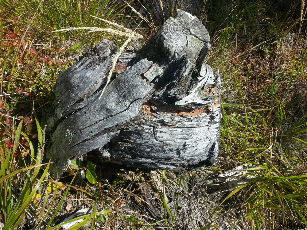 Last remaining of a tree