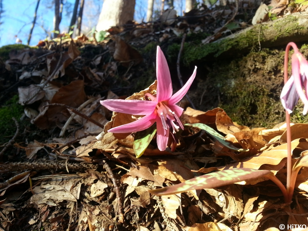 A dogtooth violet